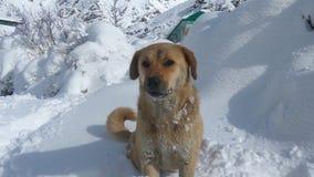 Snow dog name lucy in chhitkul village. Pet animal lucy enjoying Winter season in chhitkul Royalty Free Stock Photography