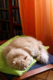 Pet and animal. Nap for a Siberian male cat Royalty Free Stock Photos