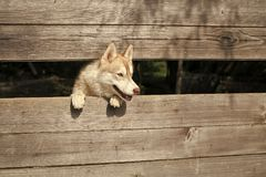 Pet and animal, Siberian husky, dog year. Royalty Free Stock Photo