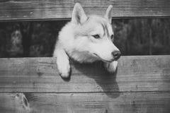 Pet and animal, Siberian husky. Year of dog, holiday celebration. New year, christmas, xmas. Zoo, shelter farm or captivity royalty free stock photography
