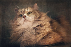 Pet and animal. Siberian male cat and its whiskers. Stock Photography
