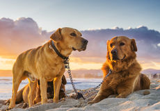 Pet animals, dogs Royalty Free Stock Image