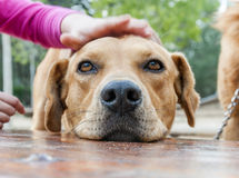 Pet animals, dogs Stock Photography