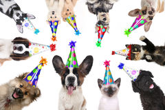Pet Animals Isolated Wearing Birthday Hats for a Party. Multiple Pet Animals Isolated Wearing Birthday Hats for a Party stock photo