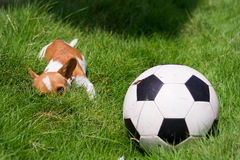 Pet with ball. Small puppy with ball in the field at home Stock Photo
