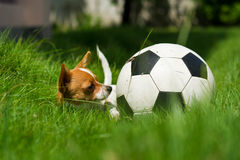 Pet with ball. Small puppy with ball in the field at home royalty free stock photos