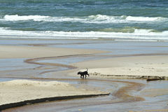 Pet at at the beach in Denmark Royalty Free Stock Photo