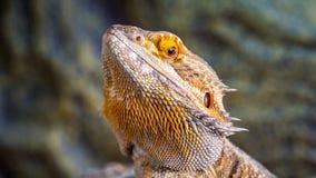 Pet Bearded Dragon Royalty Free Stock Photos