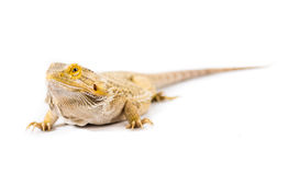 Pet Beardy. Close up picture of a bearded Dragon stock photo