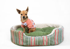 Pet bed. A tiny chihuahua sitting in a pet bed Stock Image