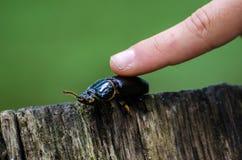 Pet Beetle Royalty Free Stock Photos