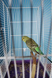 Pet Bird Royalty Free Stock Photography