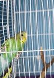Pet Bird Stock Photo