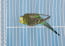 Pet Bird Royalty Free Stock Image