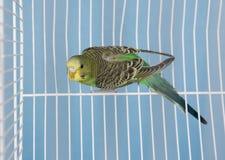 Pet Bird Royalty Free Stock Image