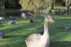 Pet birds Stock Photography