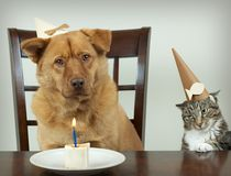 Pet Birthday party. Dog and cat sitting at the table and celebrating Birthday anniversary. Focus on the jealous cat Stock Photos