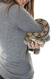 Pet Boa Snake. A curious pet boa snake held by a smiling young woman. Shot on white background royalty free stock photo
