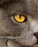 Pet - British shorthair cat Royalty Free Stock Photos