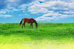 Pet brown horse on green meadow against a blue sky with clouds eat grass, Royalty Free Stock Photography