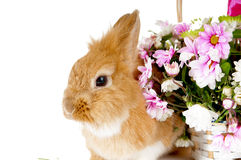 Pet brown rabbit. Pet brown rabbit near the basket with spring flowers, isolated on white background/Postcard Royalty Free Stock Photography