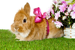 Pet brown rabbit  with pink bow. Stock Images