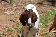 Pet Brown White Goat Stock Images