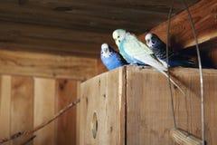 Pet budgerigars in aviary Royalty Free Stock Image