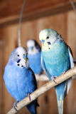 Pet budgerigars in aviary. Blue budgie is sitting on a branch in an aviary Stock Images