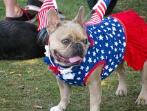 Pet bulldog in red, white and blue holiday costume. Cute French bulldog wearing patriotic dress with U.S. flag accessories for American Fourth of July dog parade stock image