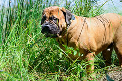 Pet bullmastiff dog. Near the river eats grass stock photography