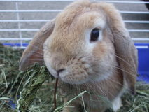 Pet bunny in a cage eating grass Royalty Free Stock Photography