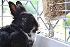 Pet bunny in front of its hay dispenser. A pet rabbit with black and white fur sitting in front of a hay dispenser in its cage stock photography