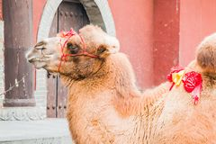 Pet Camel. A pet camel waiting for the next paying customer who wants a ride Royalty Free Stock Photos