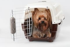 Pet carrier with dog. Opened pet travel plastic carrier with Yorkshire Terrier inside Royalty Free Stock Photography