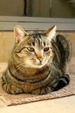 Pet Cat Royalty Free Stock Image