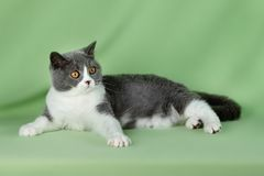 Pet cat Stock Images
