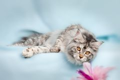 Pet cat Stock Photos