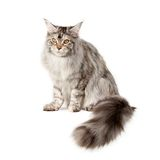 Pet cat Royalty Free Stock Photography