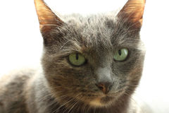 Pet cat calmly looks you in the eye. Calm eyes of a young domestic cat Royalty Free Stock Images