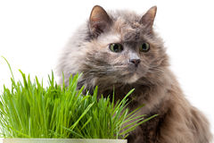 A pet cat eating fresh grass Royalty Free Stock Images