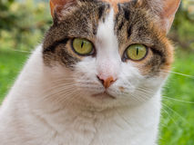 Pet cat face close. Inquisitive green eyes. Royalty Free Stock Image