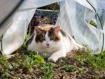 Pet cat in garden plastic cloche watching peas and weeds grow. Stock Photography