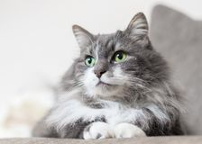 Pet cat green cats eyes. Gray pet cat with big green cats eyes stock photo