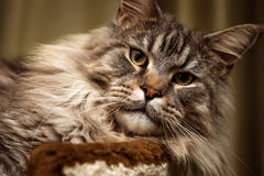 Pet. Cat. Maine Coon Stock Photo