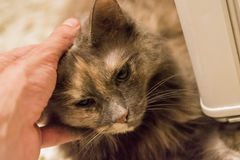 Pet the cat. Male hand pets one grey cat Royalty Free Stock Photography