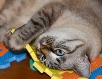 Pet cat plays with children toys, damages the baby rug, bites, tears in the playroom royalty free stock image