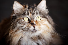 Pet cat's portrait Royalty Free Stock Photography