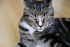 Pet. Cat sitting still gazing ferociously Royalty Free Stock Images