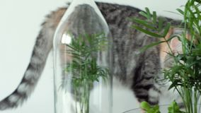 A pet cat sniffs green plants in glass pots under covers.